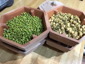 graines dans le germoir après avoir trempé dans l'eau, début du processus de germination